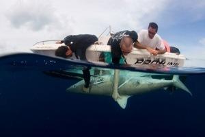 DiegoCardeñosa_sharks2